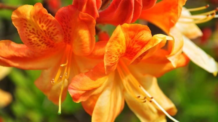Blomstring i Arboretet. Foto.