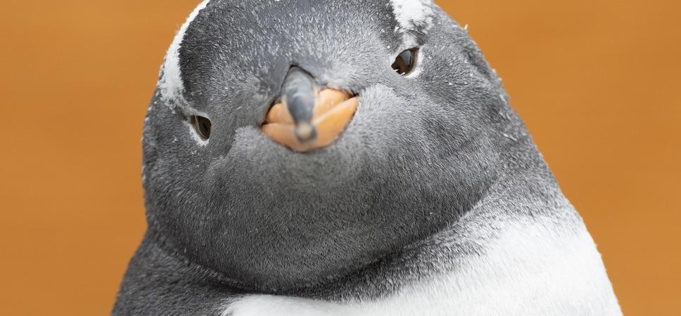 Pingvin i Akvariet.
